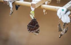 Fjäril med kokong Arkivfoto