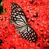 Fjäril med lxora Fotografering för Bildbyråer