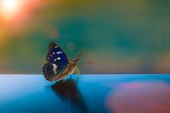 Fjäril med pärl- vingar i solen Arkivfoton