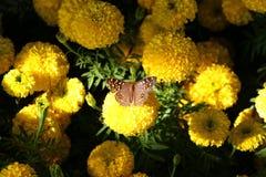 Fjäril med ringblommabakgrund arkivbilder