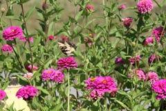 Fjäril med rosa blommor Royaltyfria Foton