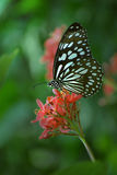 Fjäril med små vingar Royaltyfri Bild