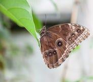 Fjäril med stängda vingar Arkivfoto
