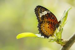 Fjäril med Svart-apelsin vingar royaltyfria foton