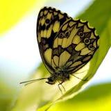 Fjäril (Melanargia galathea) royaltyfria foton