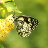 Fjäril (Melanargia galathea) Arkivbild