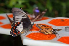 Fjäril - monark - fruktträdgård Swallowtail royaltyfri fotografi