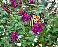 Fjäril monark som söder vandrar till oklahoma city royaltyfri fotografi