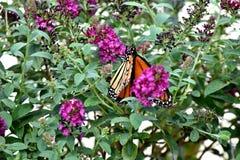 Fjäril monark som söder vandrar till oklahoma city royaltyfri foto