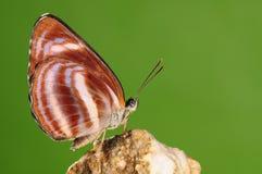 Fjäril Neptis miah Arkivbild