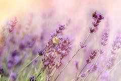 Fjäril och bi-humla på lavendelblomman Arkivfoto