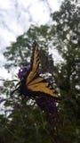 Fjäril och blomma Arkivfoto