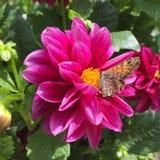 Fjäril och blomma Arkivbilder