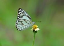 Fjäril och blomma i natur Fotografering för Bildbyråer