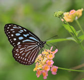 Fjäril och blommablommor - Liuchiou blå prickig Milkweedfjäril arkivfoto