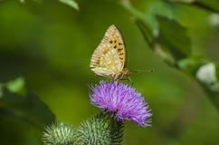 Fjäril och blomman Royaltyfria Bilder