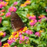 Fjäril och blommor Arkivbilder