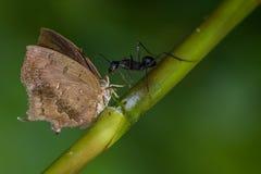 Fjäril och en myra: Royaltyfria Bilder