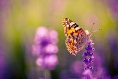 Fjäril och fält av lavendelblommacloseupen fotografering för bildbyråer