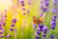 Fjäril och fält av lavendelblommacloseupen arkivbilder