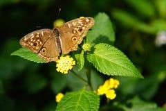 Fjäril och flora Arkivfoto
