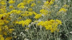 Fjäril och gula blommor stock video