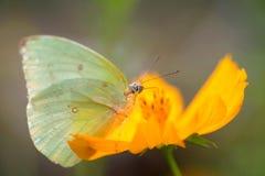 Fjäril och gulingkosmos arkivfoto
