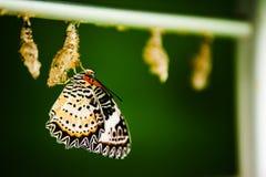 Fjäril och kokong Royaltyfri Foto