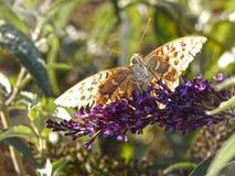 Fjäril och lavendel Arkivfoton