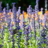 Fjäril och lavendelar Royaltyfria Foton