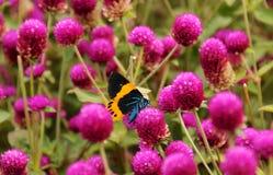 Fjäril och lilablomma Arkivfoton