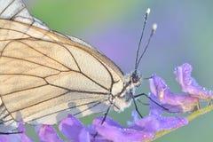 Fjäril och morgondagg Arkivbild