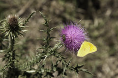 Fjäril och nyckelpiga på thistle arkivbild