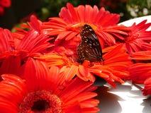 Fjäril och röd Ruby Gerbera blomma arkivbilder