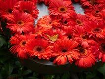 Fjäril och röd Ruby Gerbera blomma royaltyfri fotografi