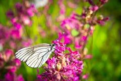Fjäril och rosa blommor Arkivfoto