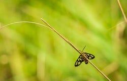 Fjäril och torrt gräs Arkivbild