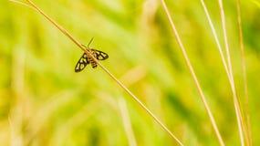 Fjäril och torrt gräs Royaltyfri Fotografi