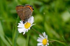Fjäril och tusensköna Arkivbild