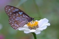 Fjäril och vitblomma royaltyfria bilder