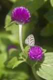 Fjäril på Amaranthblomman Arkivfoto