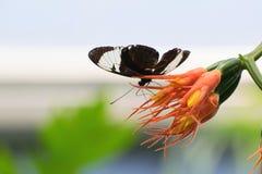 Fjäril på apelsinen och gulingblomman Arkivbild