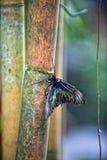 Fjäril på bambu Fotografering för Bildbyråer