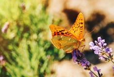 Fjäril på bilden för sommar för lavendelblommor den soliga arkivfoto