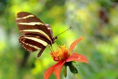 Fjäril på blomma 01 royaltyfria foton