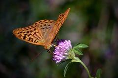 Fjäril på blomma Arkivfoton