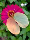 Fjäril på blomma Arkivbild