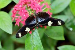Fjäril på blomma Fotografering för Bildbyråer