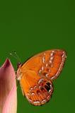 Fjäril på blomma/manlig/den Abisara burniien /brown Arkivfoton