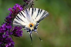 Fjäril på blomman fotografering för bildbyråer